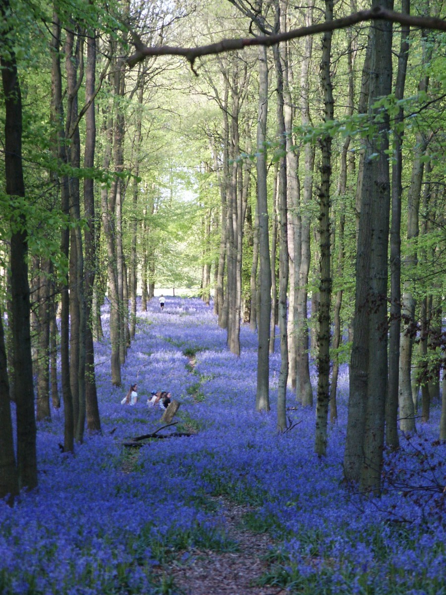 Image: Bluebell Woods