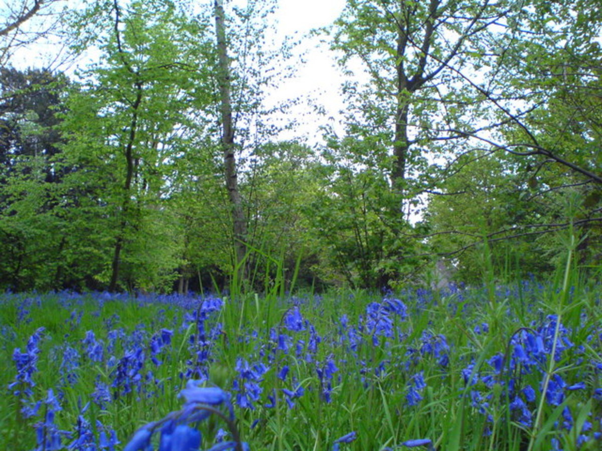 Bluebells carpet the in forest floor at Wanstead Park.