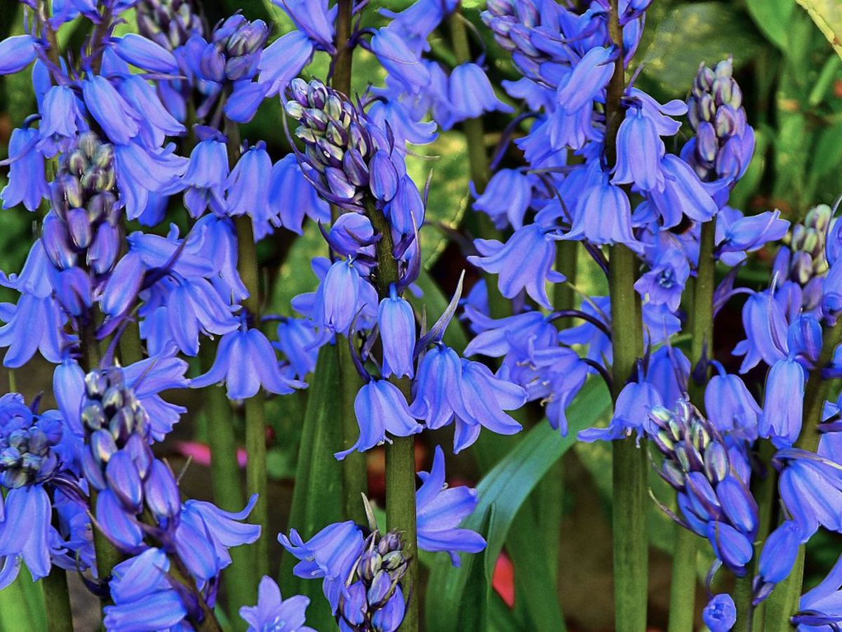 bluebellflowersbeautifulandwhimsicalperennials