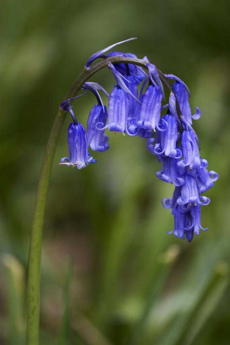 Photo: Hyacinthoides Non-Scripta