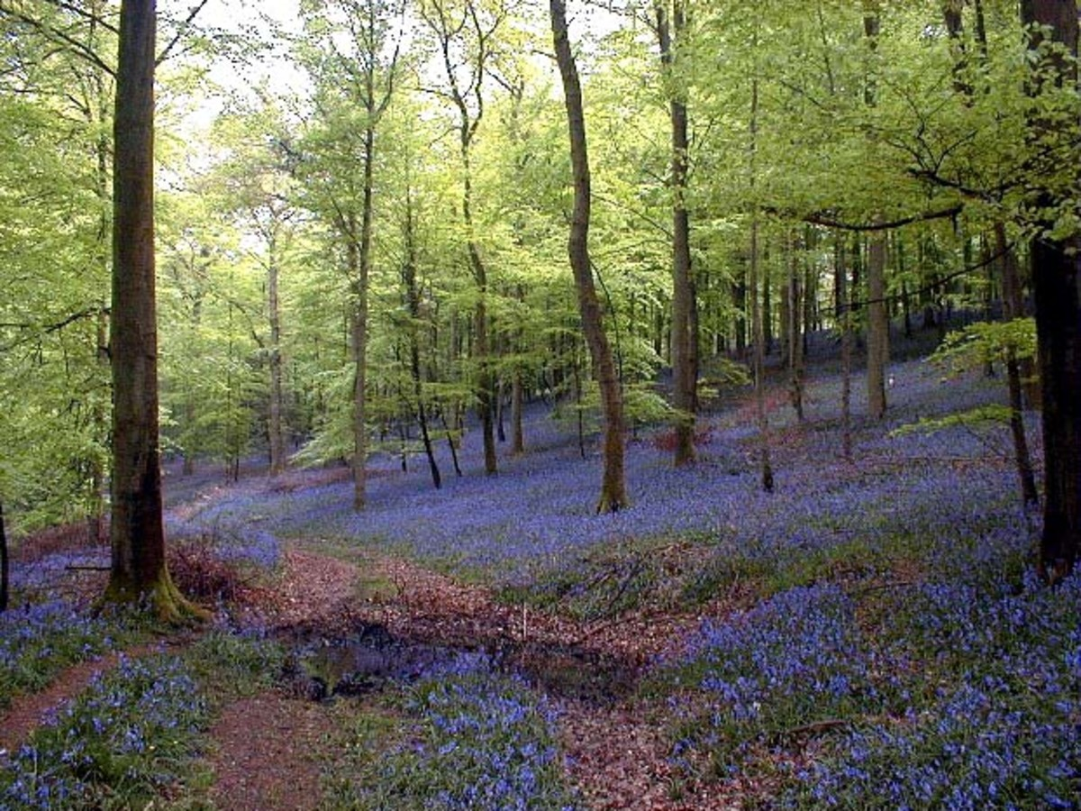Let's go for a meander in the lovely bluebell woods where the slopes are misted in blue.