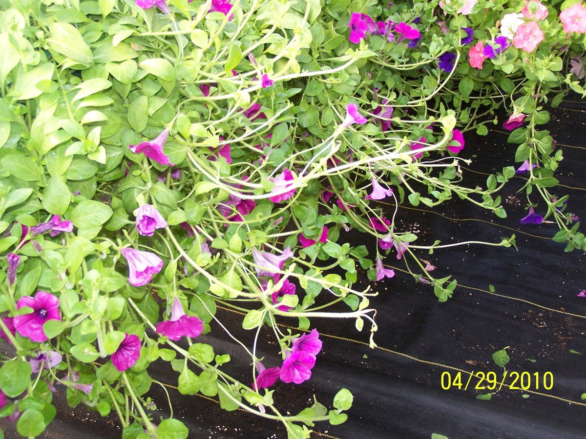 Example of a wave petunia not pinched correctly. Notie the long, lanky branches that cause the plant to be asymmetrical.
