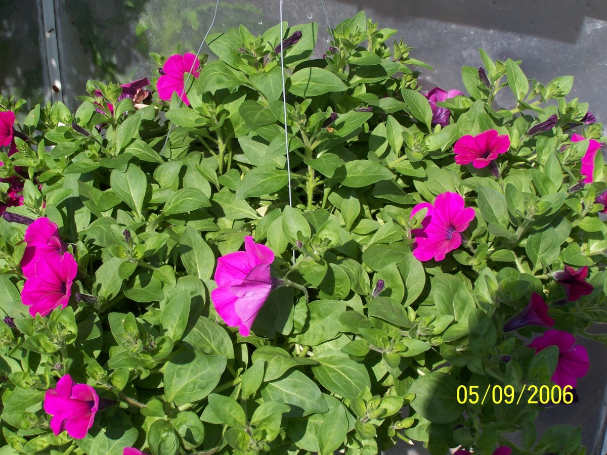 A pink wave petunia basket just beginning to bloom. Notice the deep green foliage.