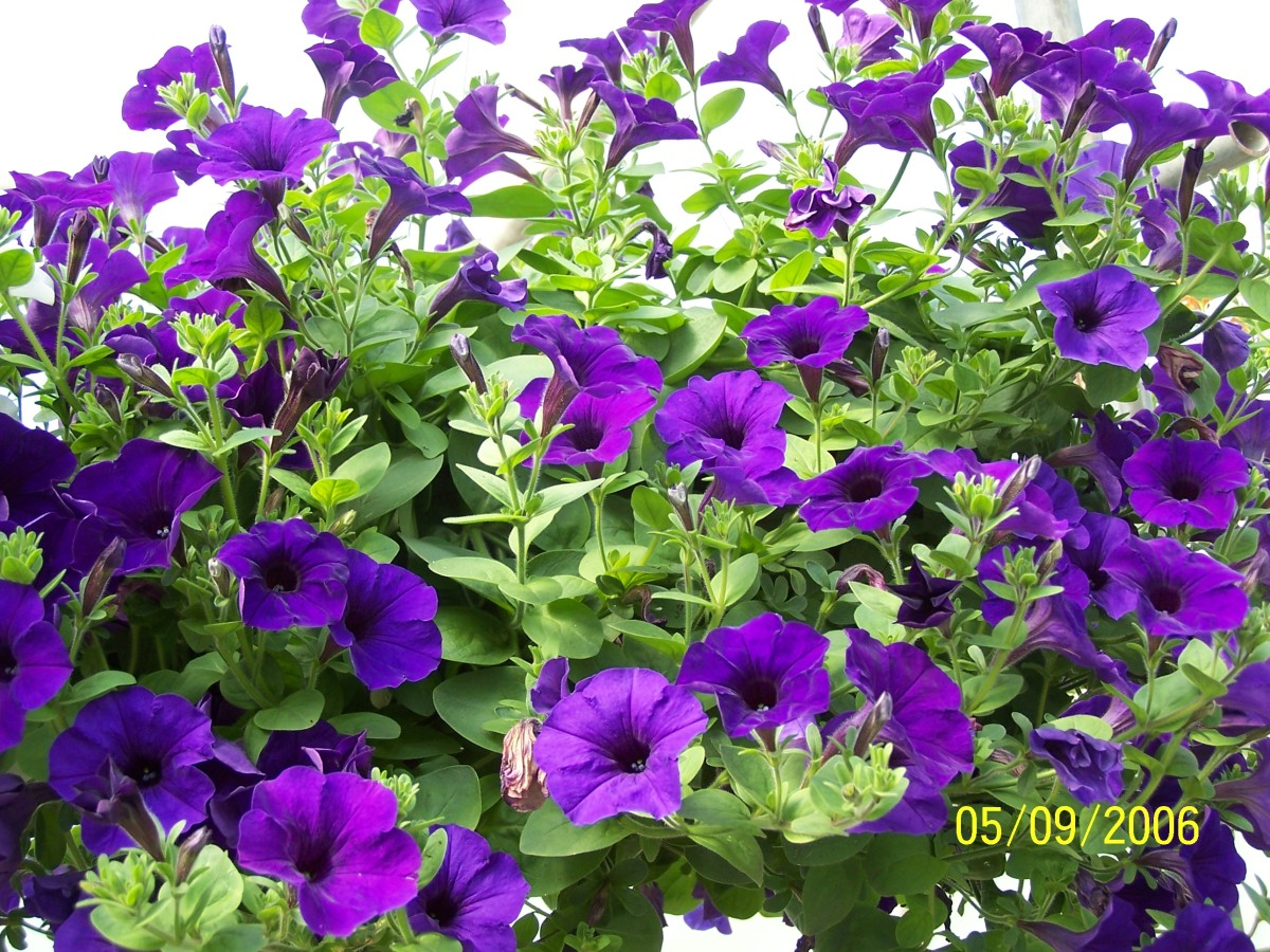 A purple wave petunia basket.