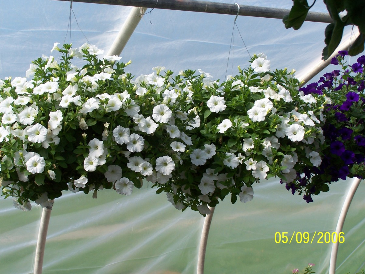 White wave petunias in hanging baskets.