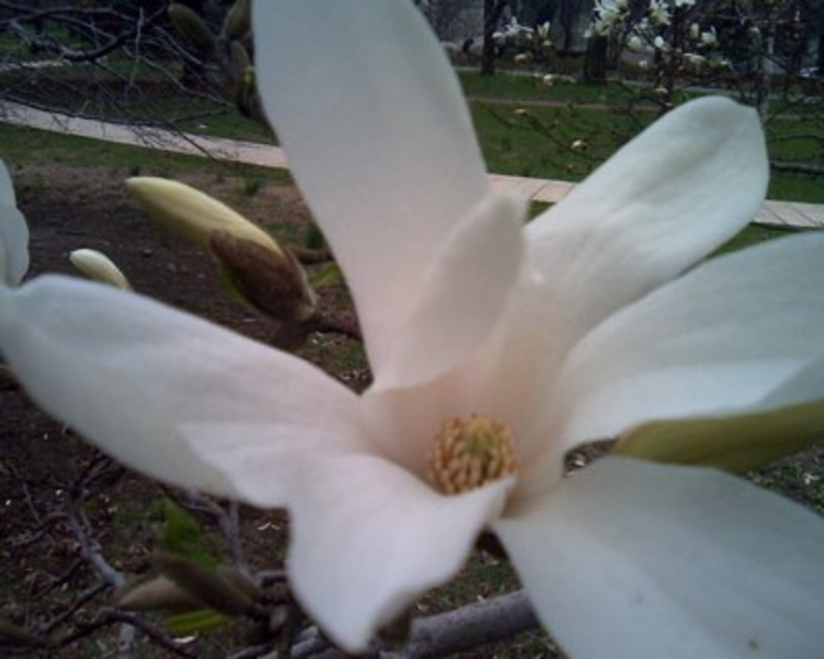 White magnolia blossom and buds