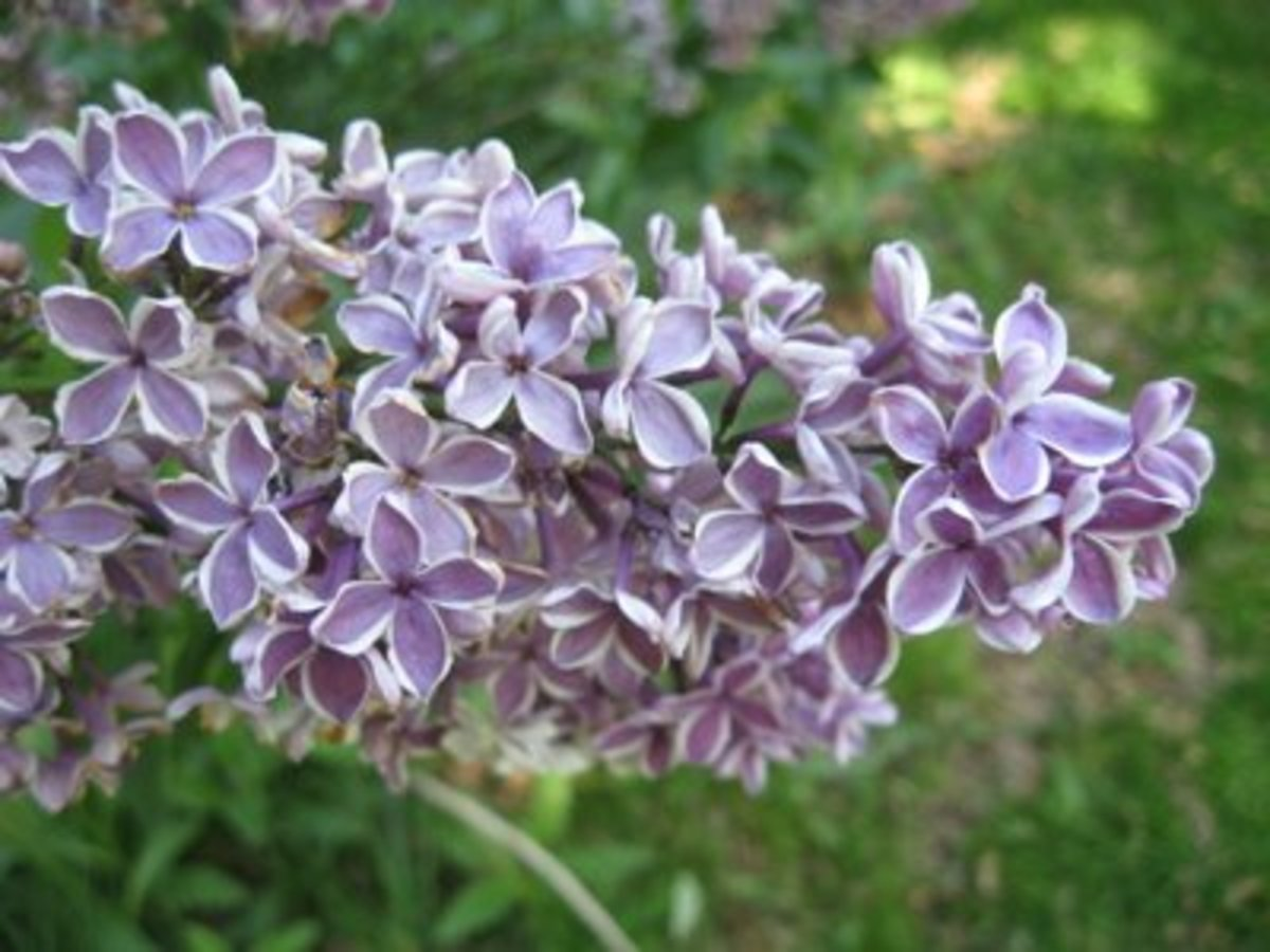 White-edged purple lilac