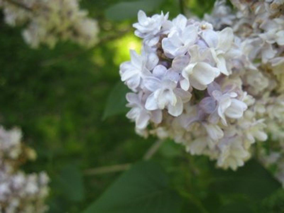 Pale purple lilac