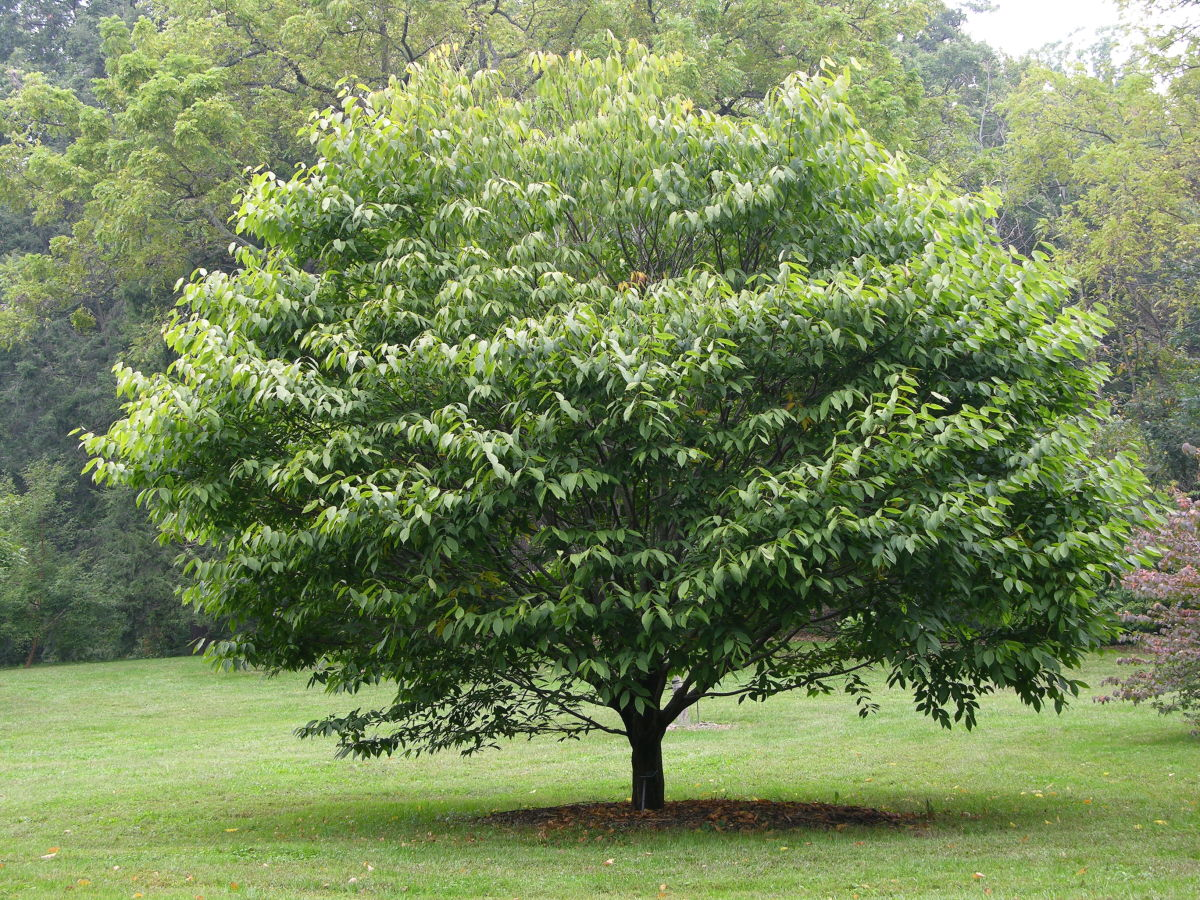 39 Small Trees Under 30 Feet For A Small Yard Or Garden Dengarden
