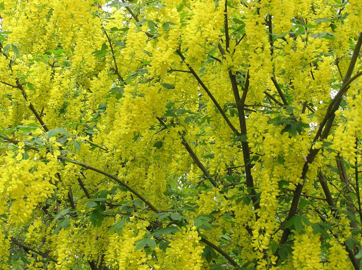 Golden Chain Tree