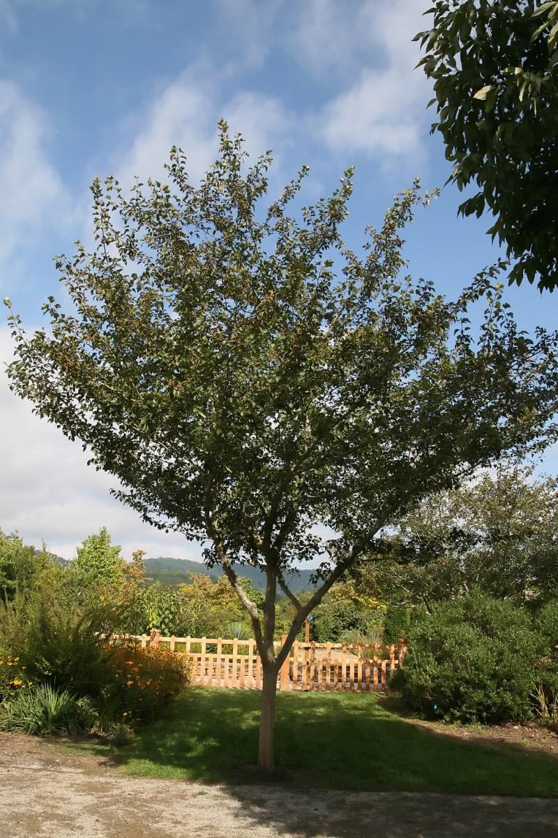 Winter green hawthorn