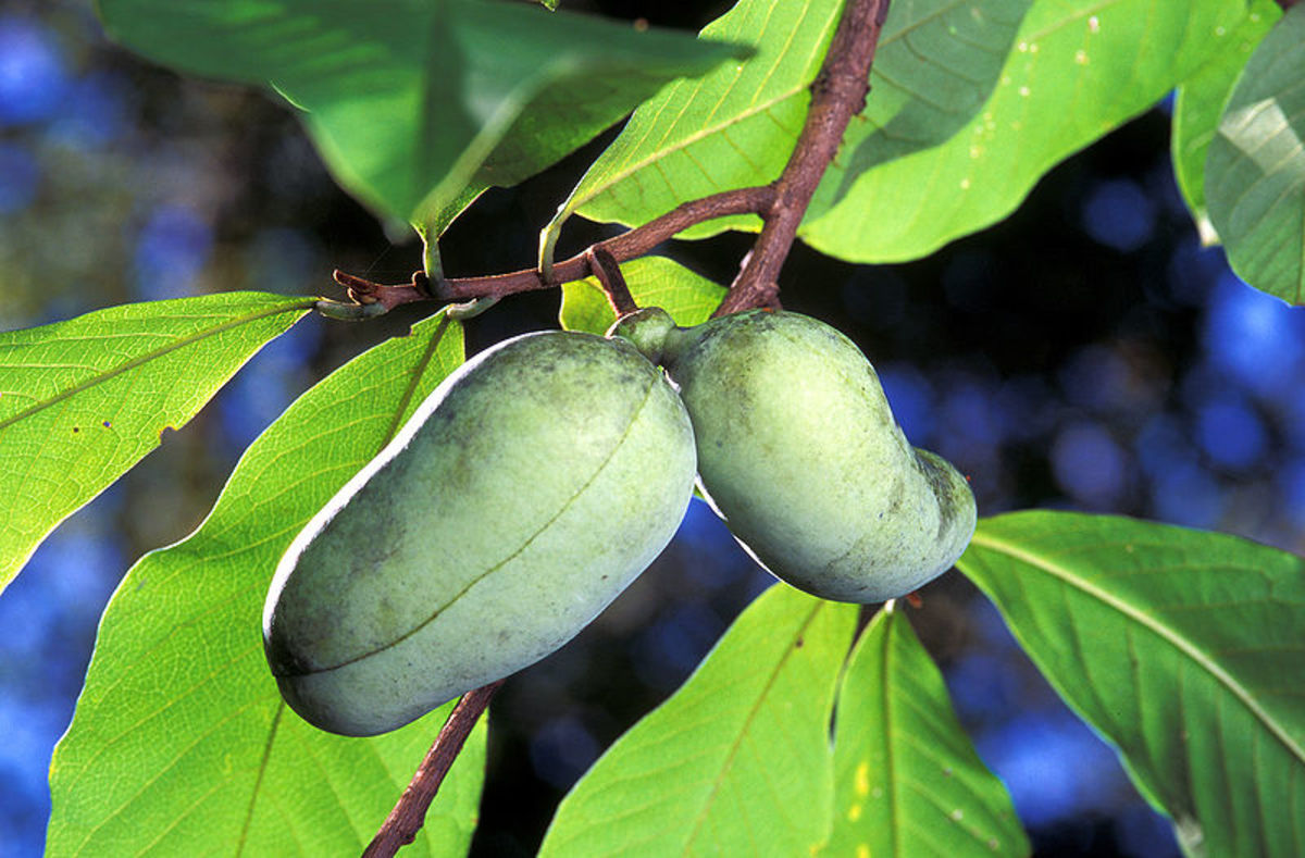 Pawpaw leaves and fruit