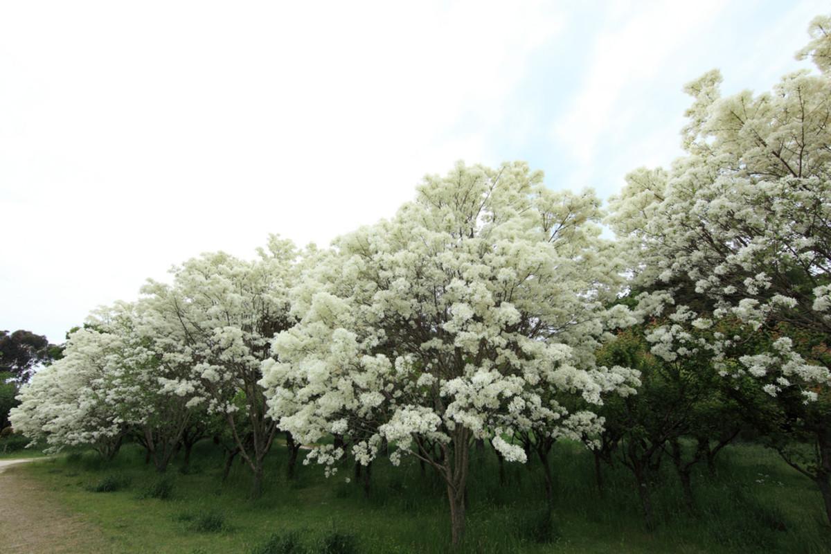 Chinese fringe tree