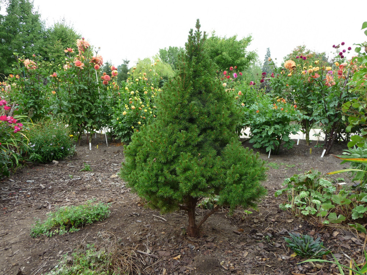 The Small evergreen tree: Conica Spruce