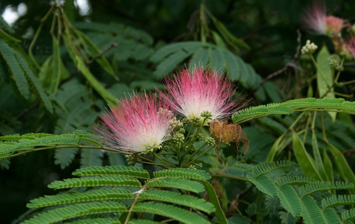 "Silk tree or ""mimosa"""