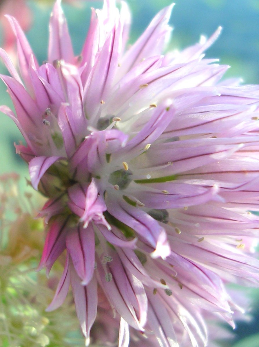 Chive flowers taste almost like freshly ground peppercorn but with an added mild onion flavor.