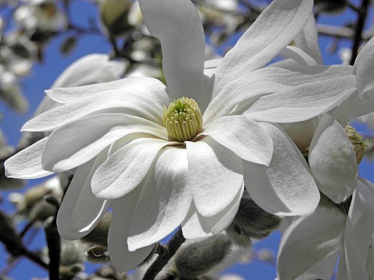 Closeup of a Magnolia stellata var. waterlily star bloom
