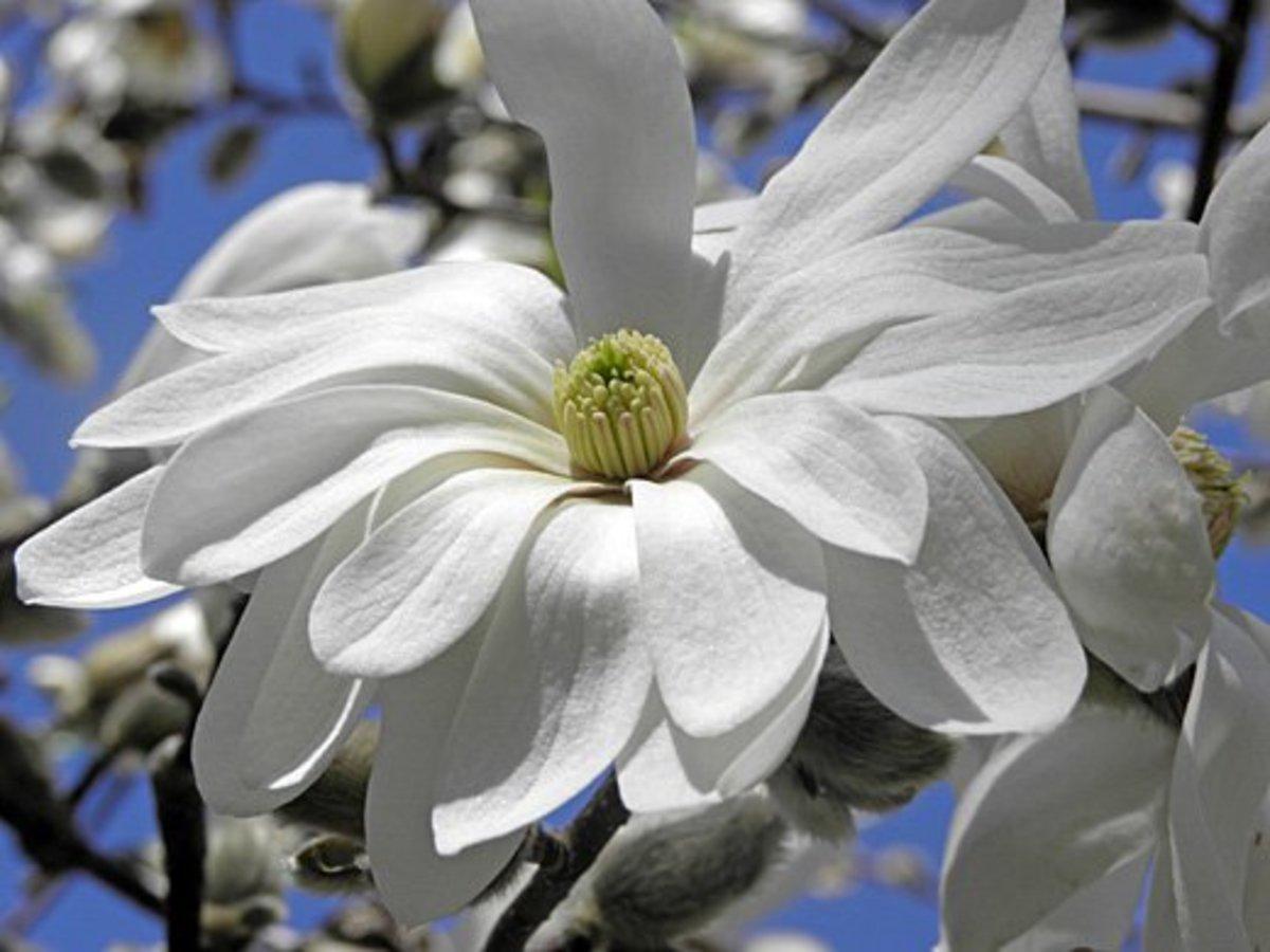 Magnolia Stellata Waterlily Star