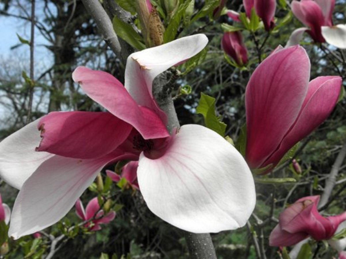 Closeup of a blooming Marillyn magnolia