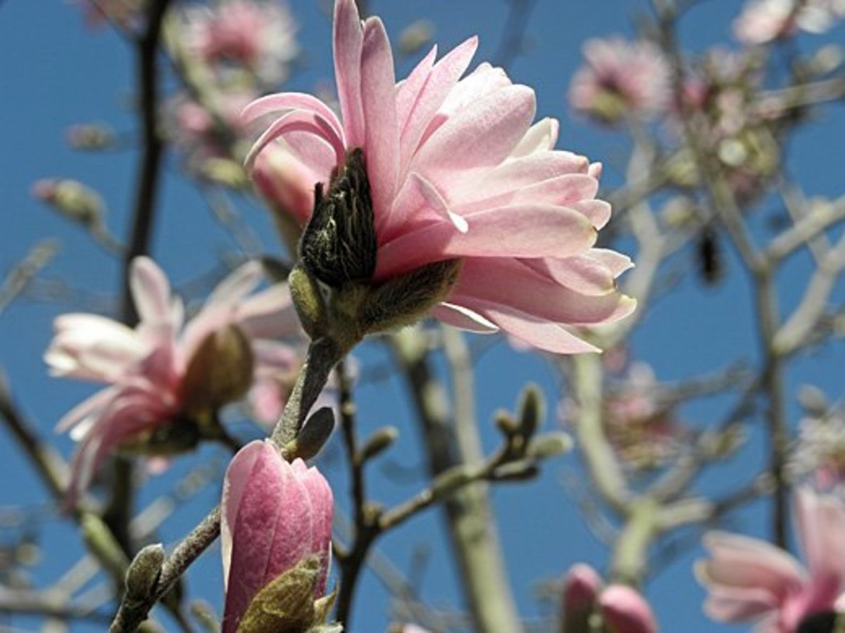 Side view of a Magnolia stellata var. Jane Platt bloom