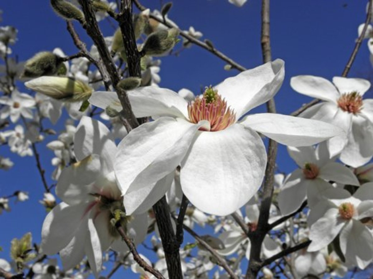 Closeup of a Magnolia kobus Norman Gould bloom