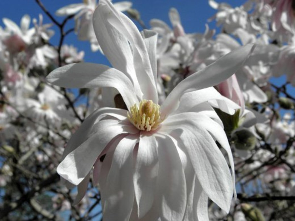 Closeup of a Magnolia stellata var.  centennial star bloom