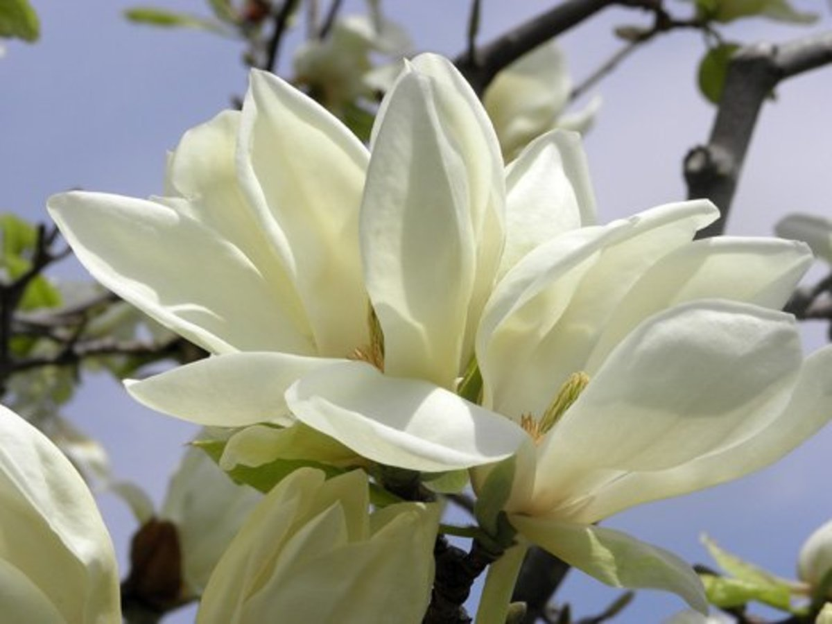 Closeup of an ivory chalice magnolia bloom