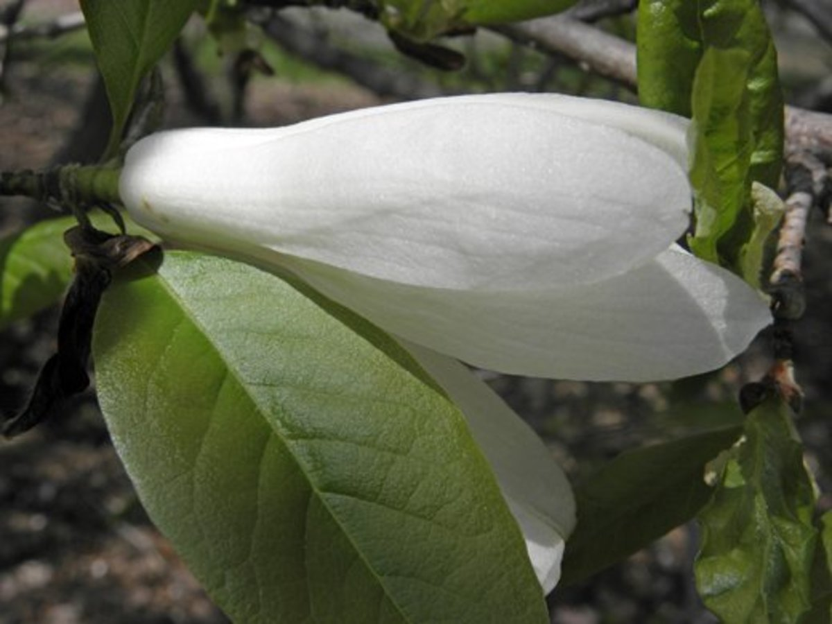 Closeup of a partially open Magnolia salicifolia anise bloom