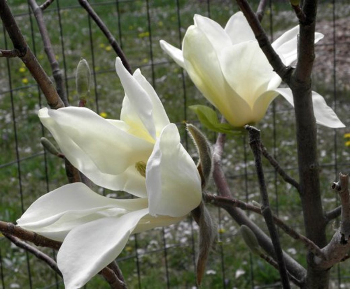 Closeup of two sun ray magnolia blooms