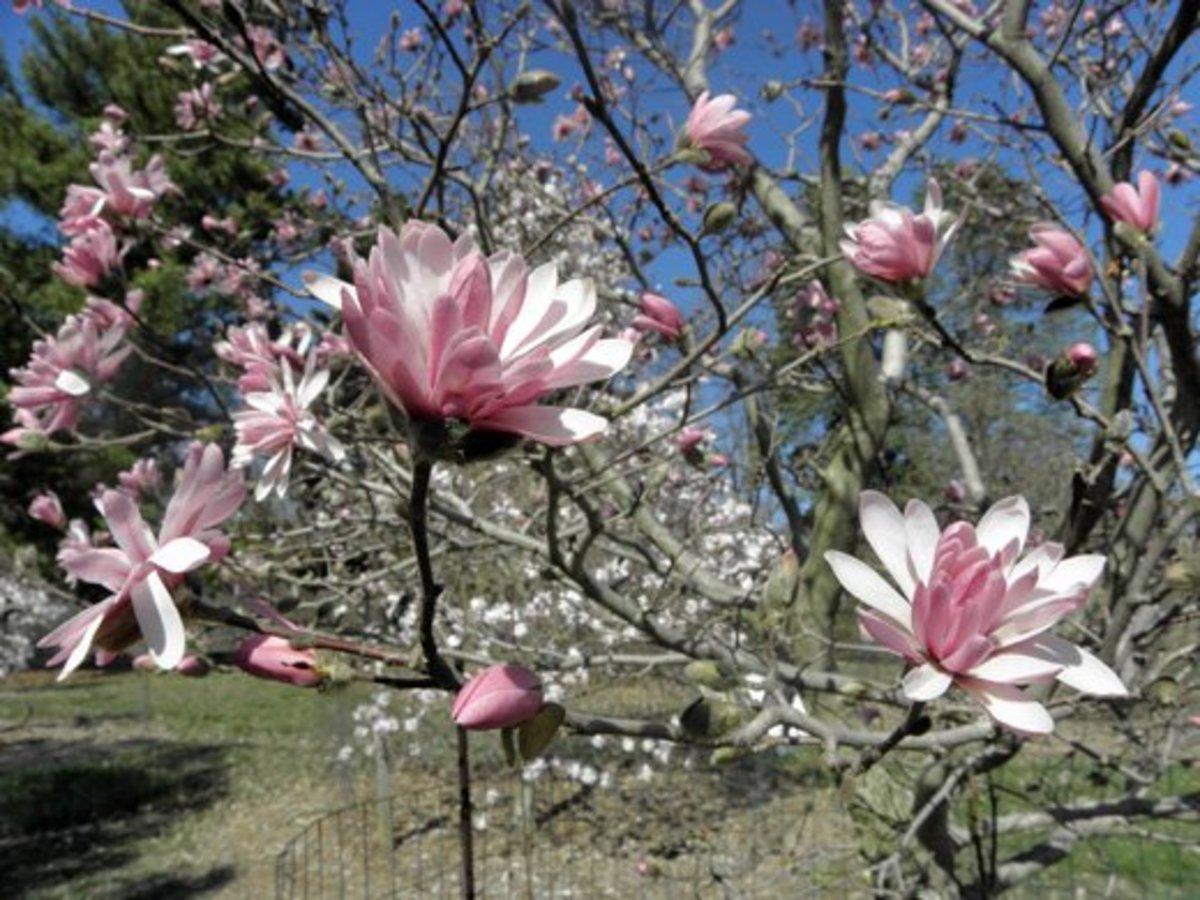 Several Magnolia stellata chrysanthemumiflora blooms