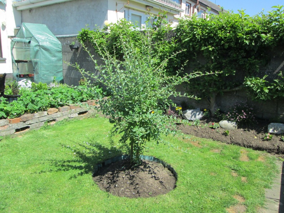 How to Grow a Goji Berry tree