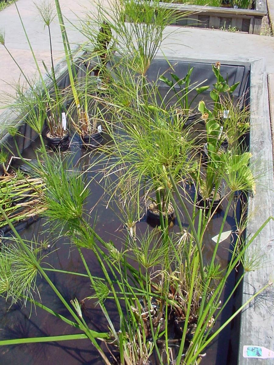 Pond Plants - Papyrus