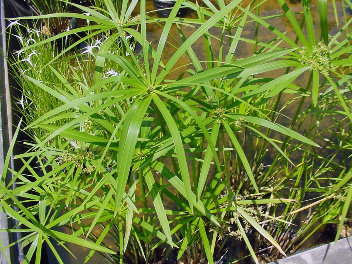 Pond Plant - Umbrella Palm