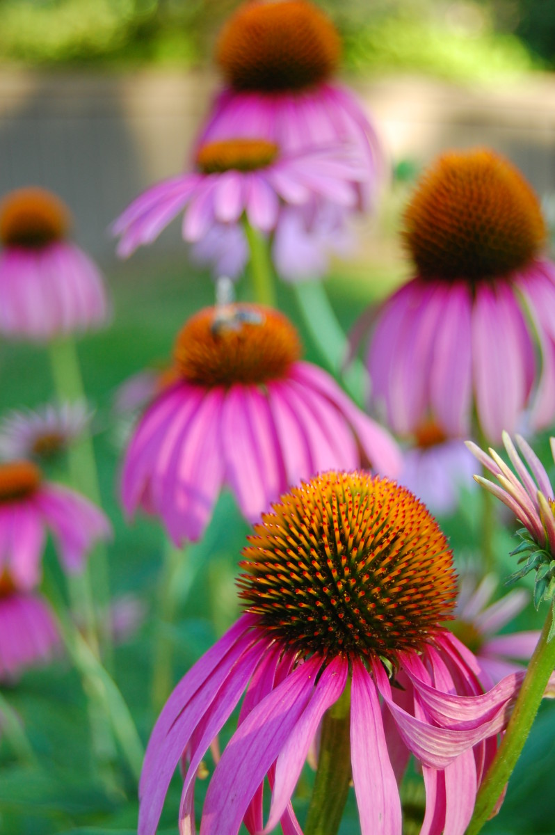 One Stalwart, Echinacea: Echinacea, one of the stalwart survivors.