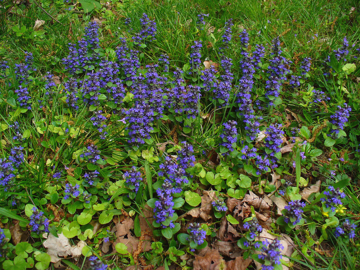 The Beautifully Deceiving Bugleweed: Beautiful flowers that attract bees, but a nightmare of fibrous, matting, killing roots.