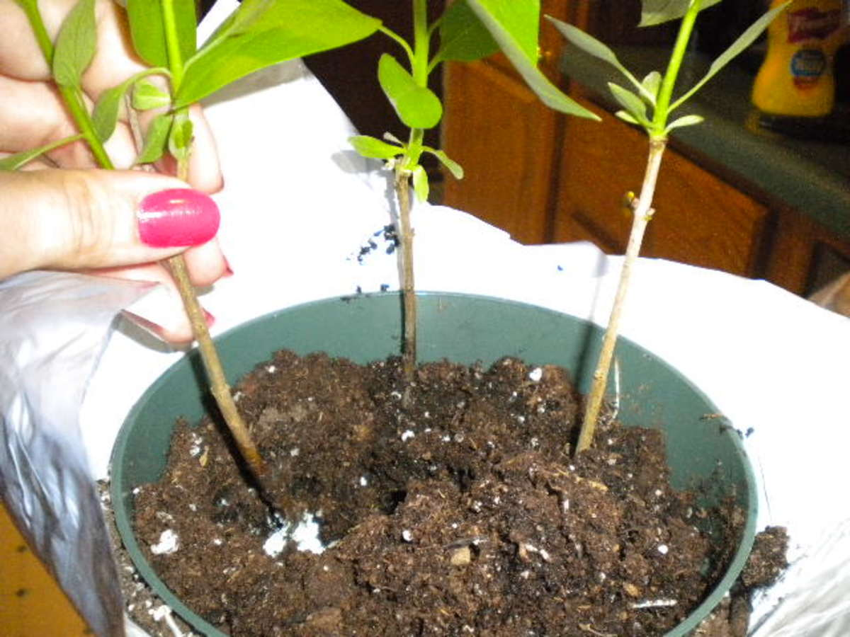 How to propagate lilac bush for Garden safe take root