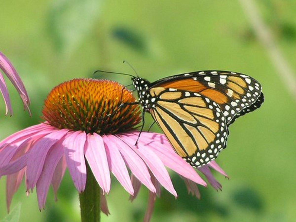 Monarch butterfly on purple coneflower