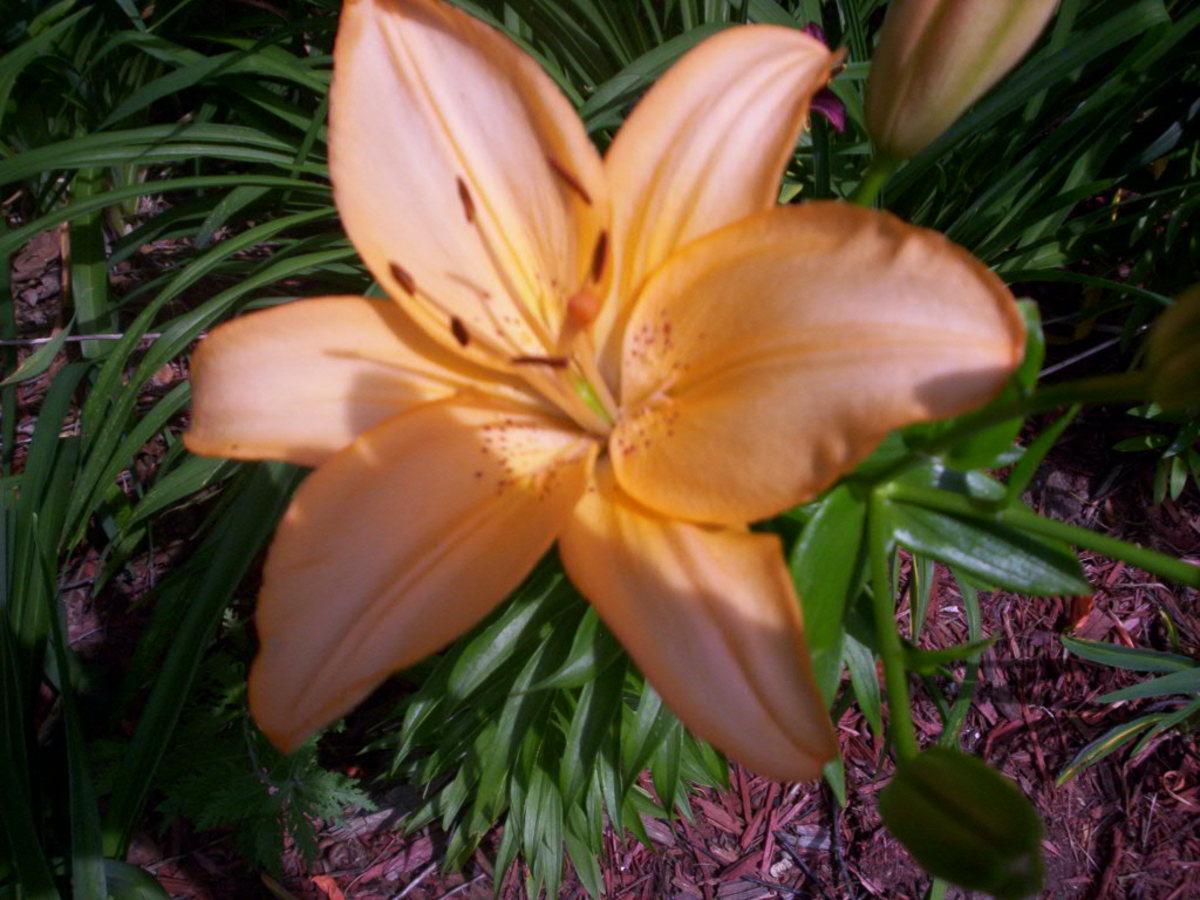 An Asiatic Lily I hybridized myself.