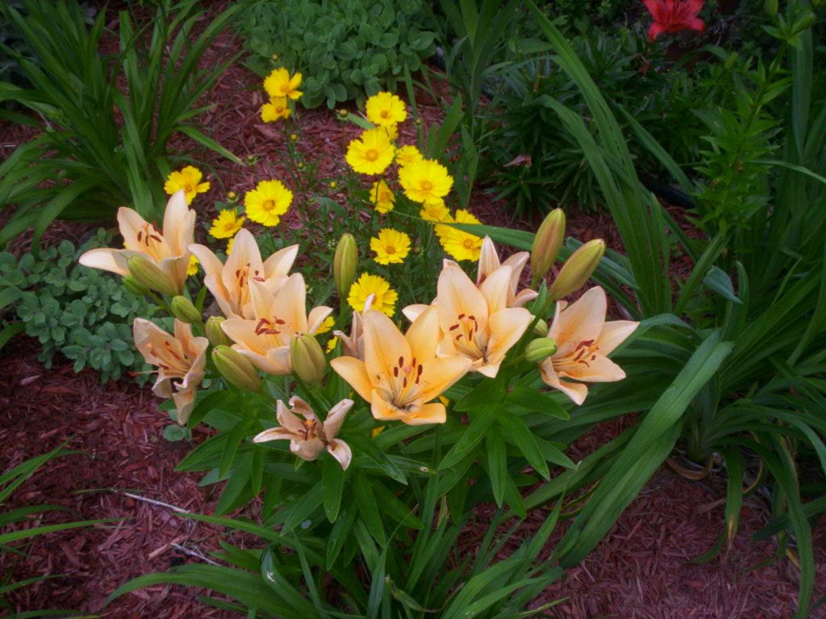 How To Grow Asiatic Lilies Dengarden