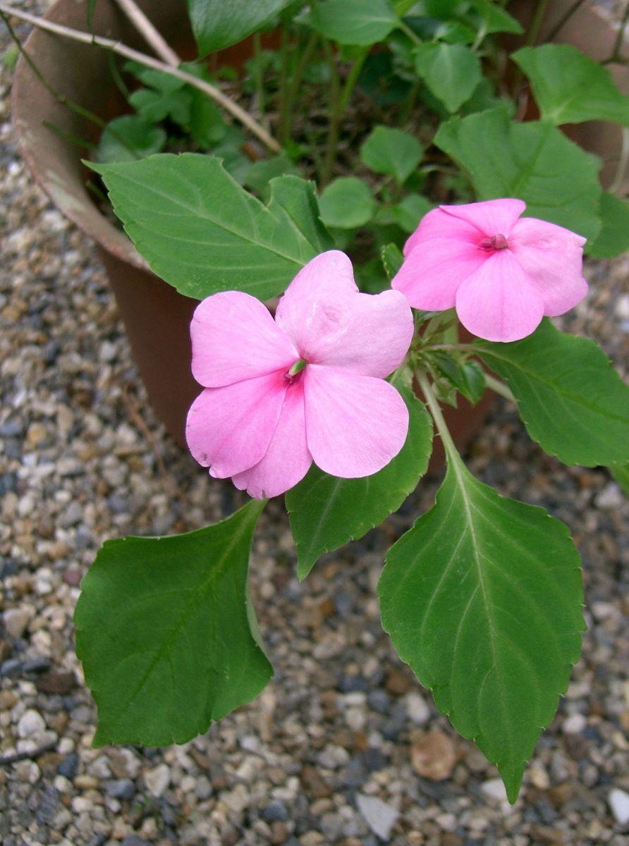 Shade loving flowering plants for a woodland garden dengarden impatiens mightylinksfo