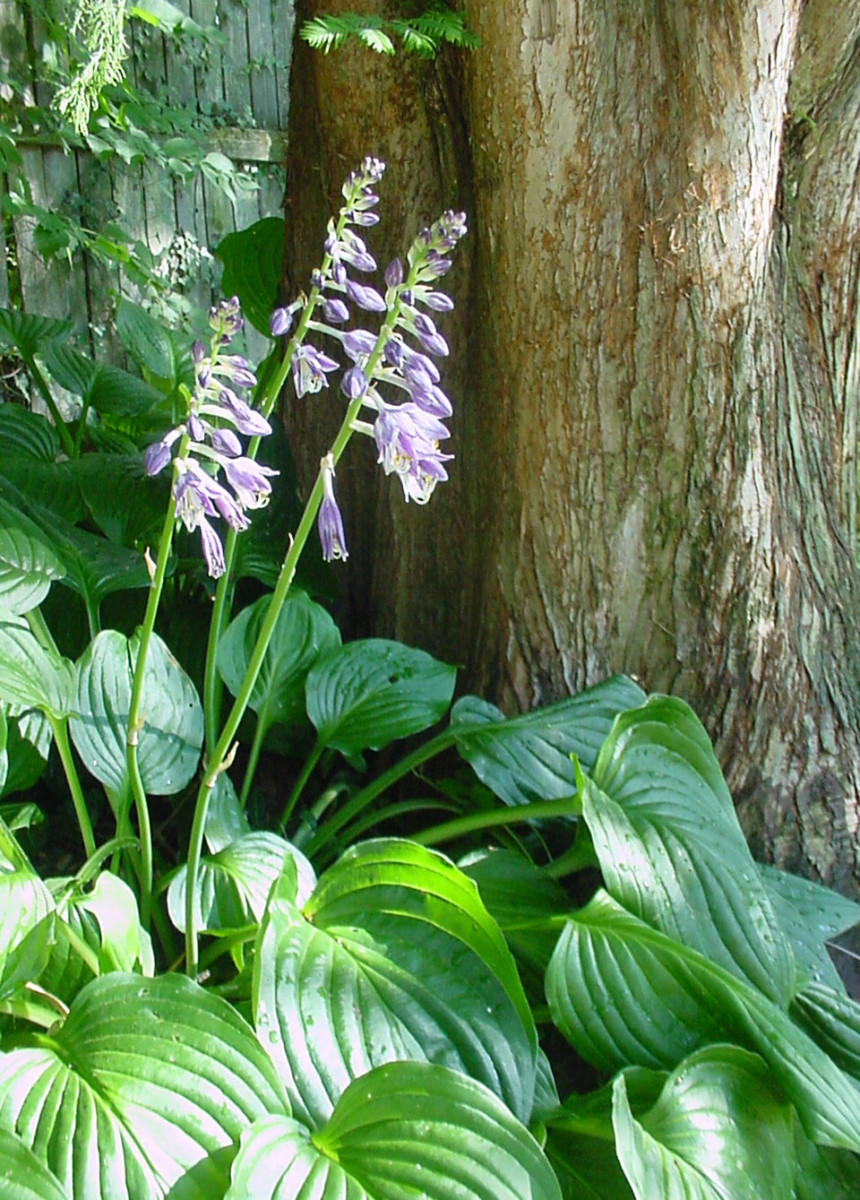 Hosta in bloom