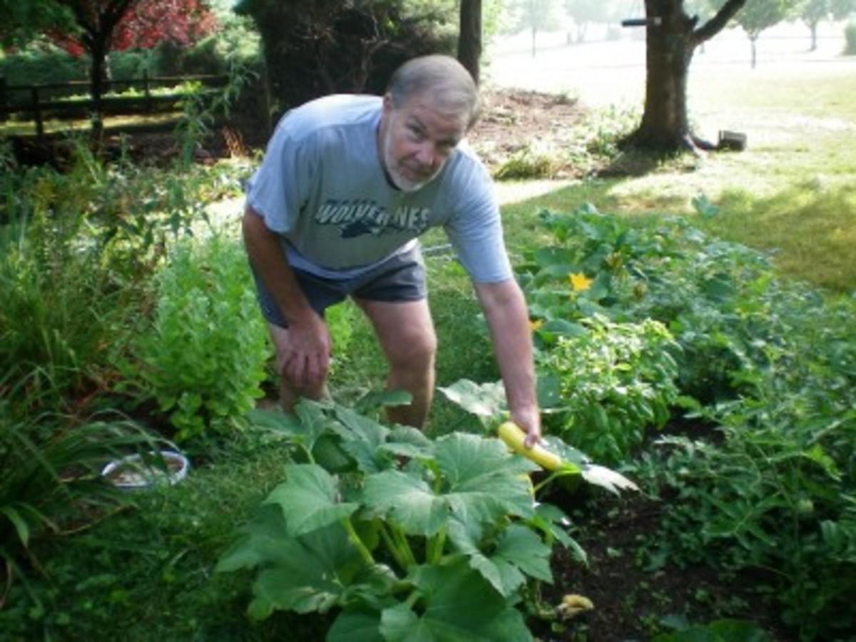 Hubby Bill picks first squash!