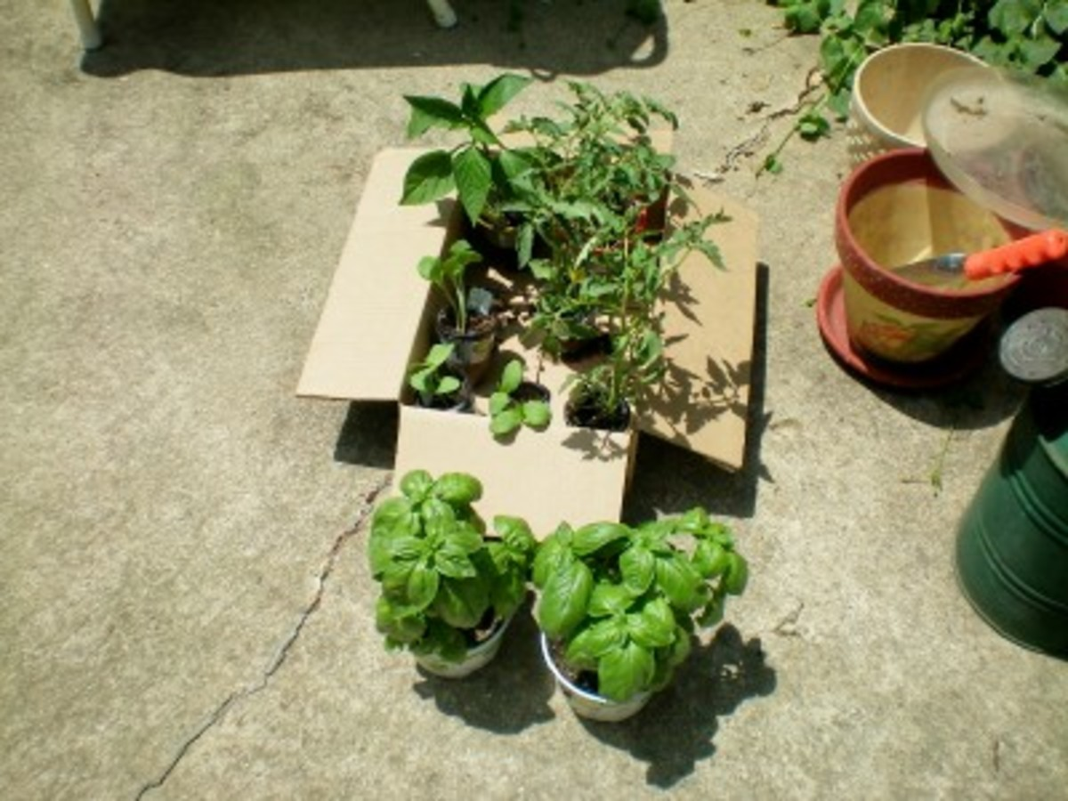My little box of tomato, pepper, and squash transplants.