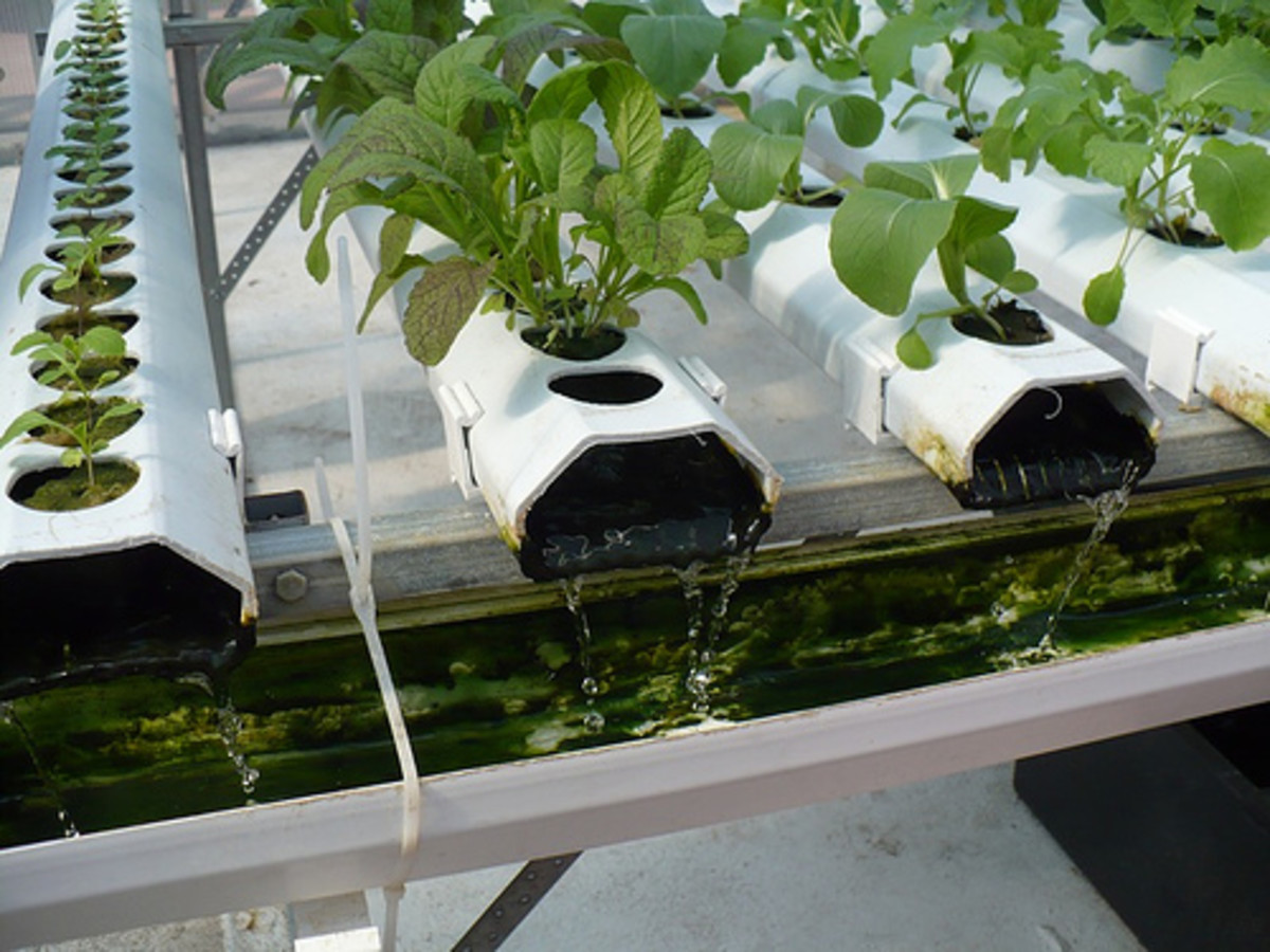 An active hydroponic system.  A water-based nutrient-rich solution flows over the roots in the grow medium.  Photo by sustainableflatbush (flickr)