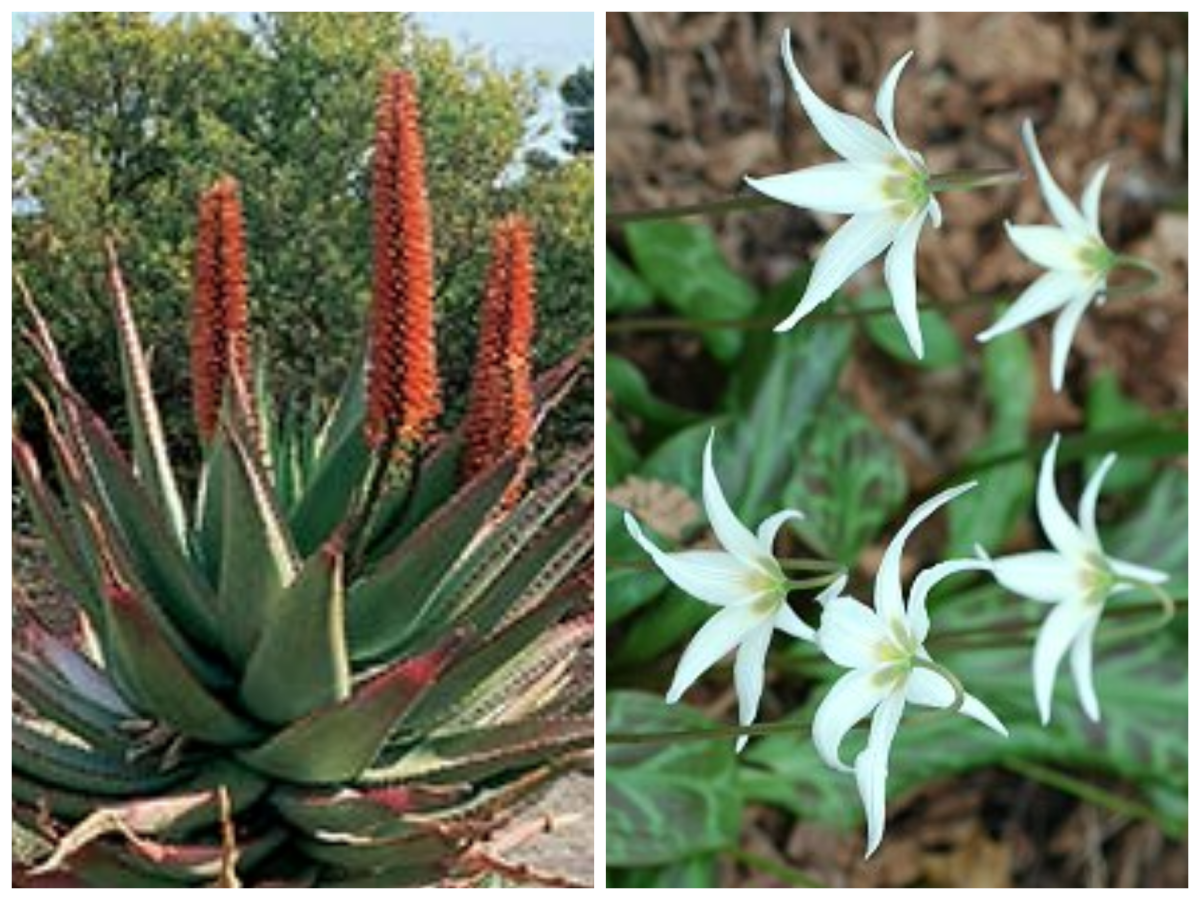 Tucson and Seattle (both Zone 8) illustrate one of the drawbacks of hardiness zones. Arizona's cape aloe (left) would hate Seattle's rain while Washington's trout lily (right) would not survive Tucson's heat and dryness.