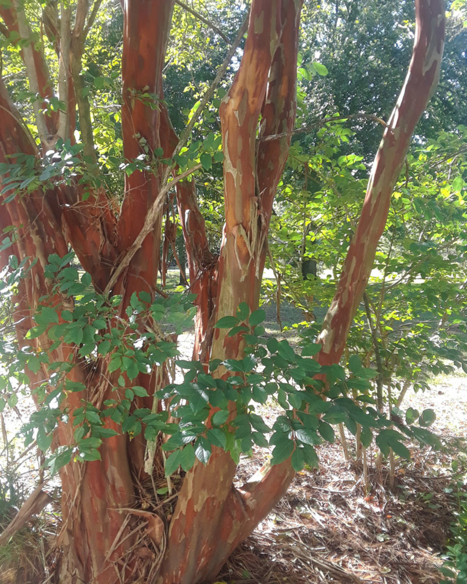 Crepe Myrtle with exfoliating bark
