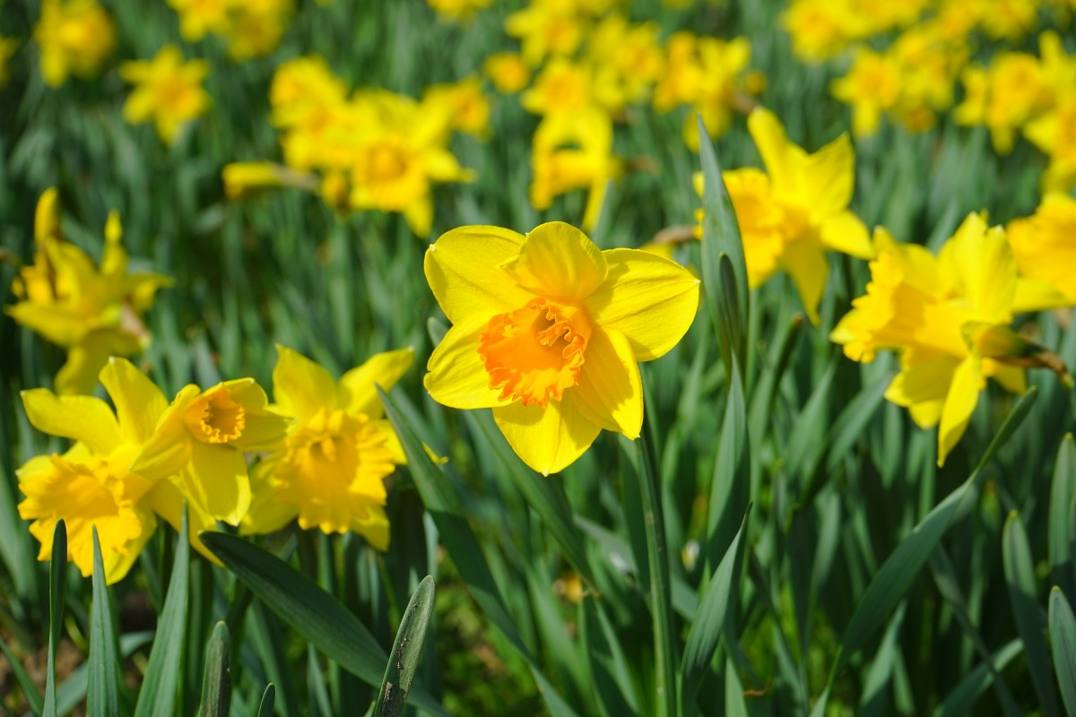 Some flowers like to be alone. Daffodils produce toxins that will kill any other flowers placed in a vase with them, so always give them their own space.