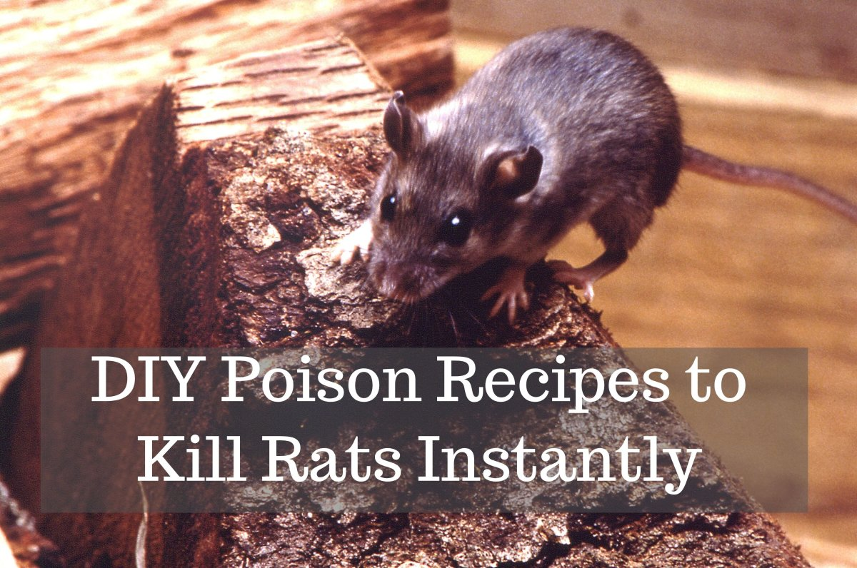 How to Get Rid of Rats With Homemade Poison