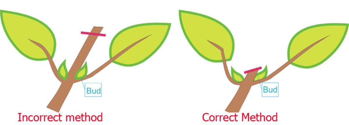 dwarfing-bonsai
