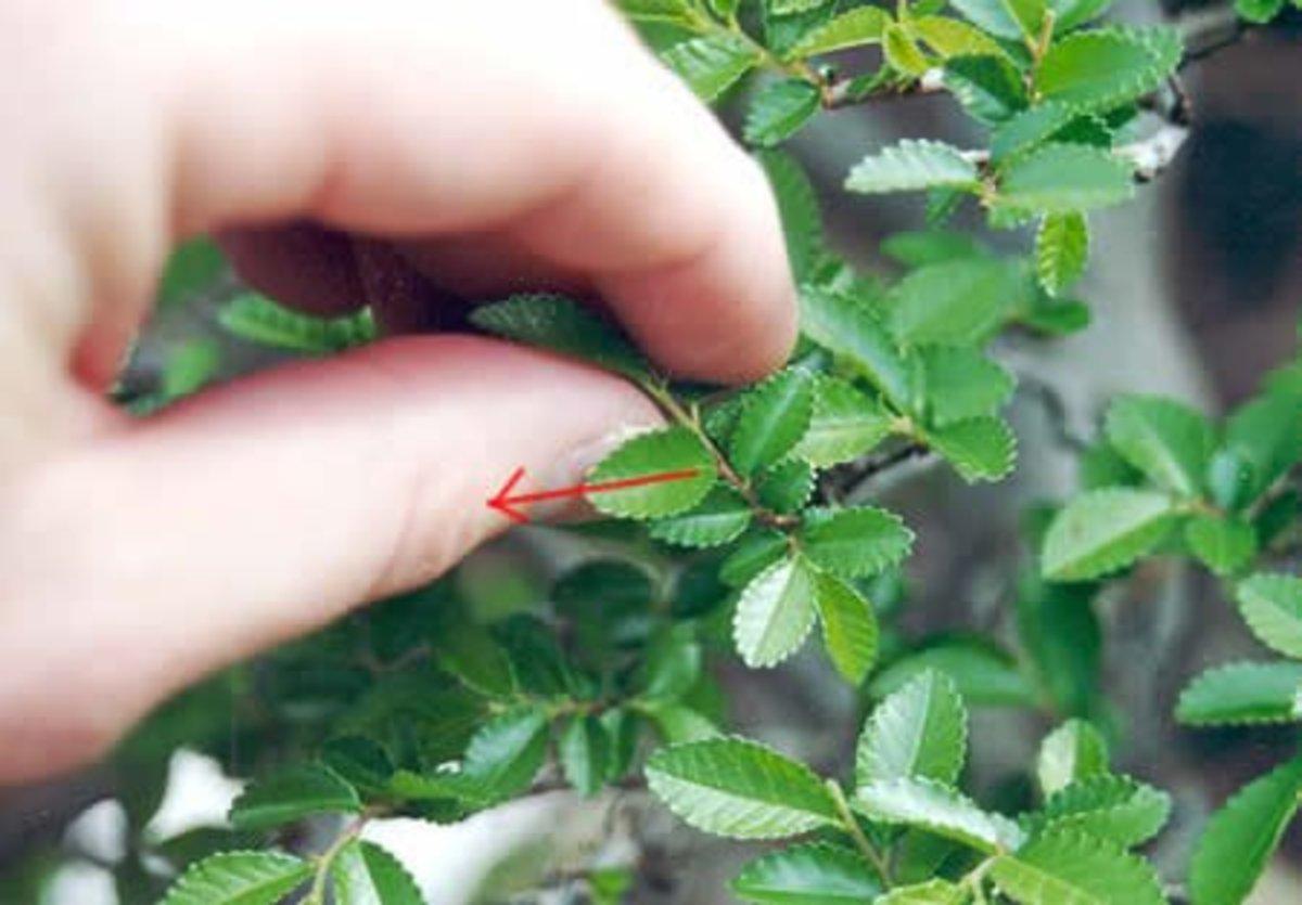 leaf pinching